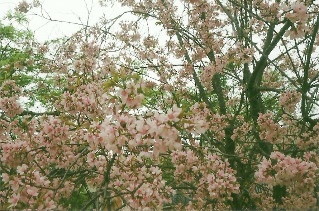 flores de cerejeira desfocadas