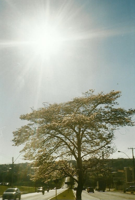 Ipê branco sob o sol