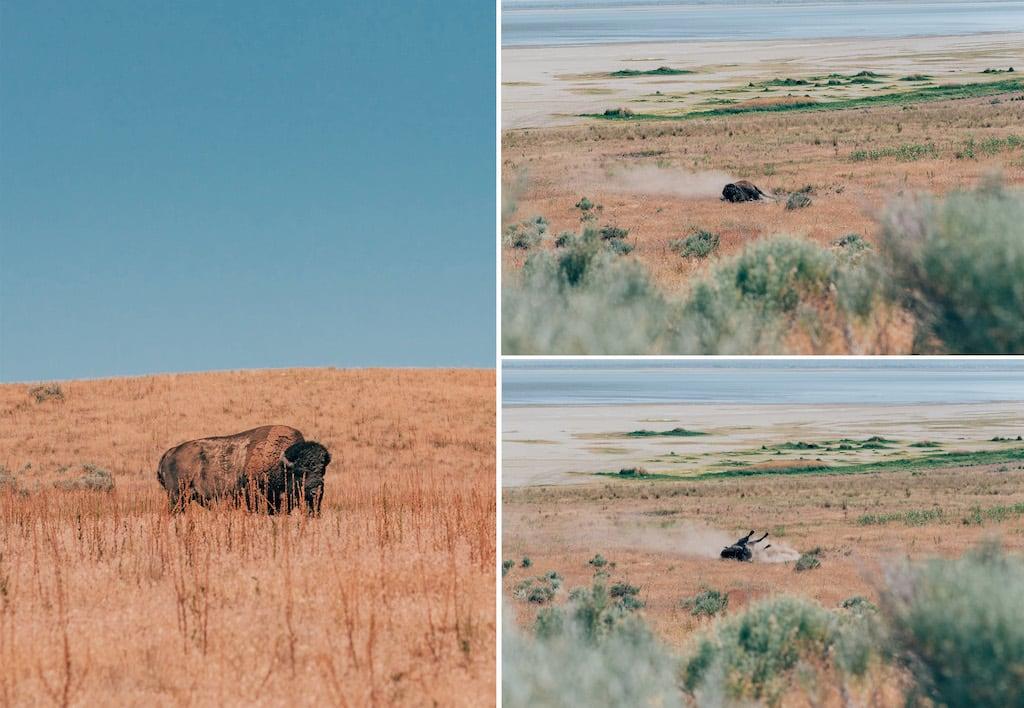 Bisões na Antelope Island. Conheça essa ilha em Salt Lake City, lugar belíssimo! #SaltLakeCity #AntelopeIsland