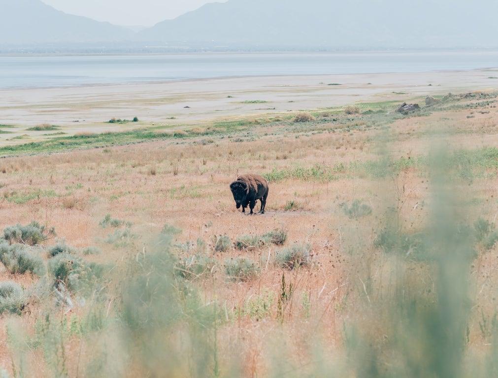 Bisão pastando na Antelope Island. Conheça essa ilha em Salt Lake City, lugar belíssimo! Clique para ler! #SaltLakeCity #AntelopeIsland