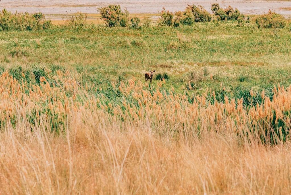 Veado fêmea se esconde nas pastagens verdes.Conheça essa ilha em Salt Lake City, lugar belíssimo e cheio de vida selvagem!Clique para ler! #SaltLakeCity #AntelopeIsland