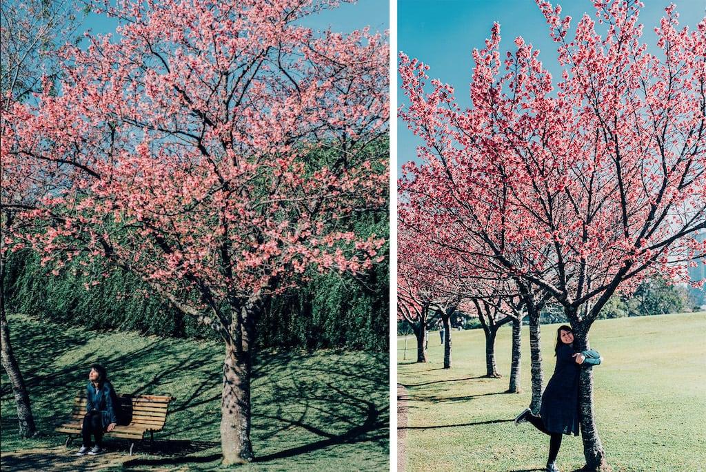 Jardim Botânico de Curitiba, veja mais fotos de como fica esse icônico ponto turístico na florada das cerejeiras!Clique para ler! #Curitiba #Cerejeiras #JardimBotânico