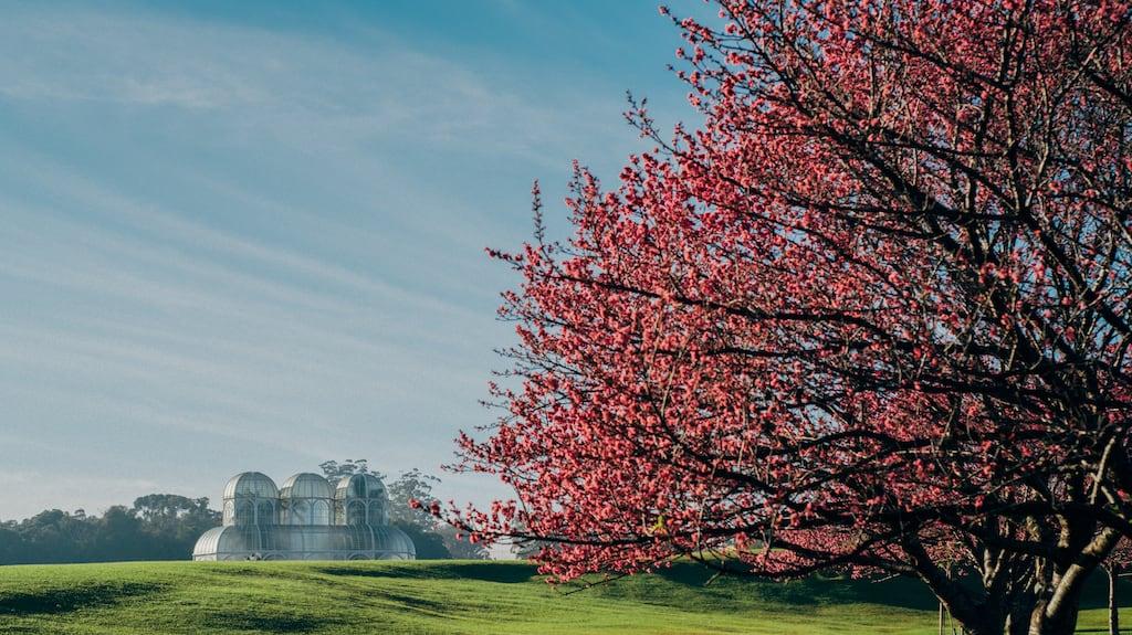 Veja fotos do Jardim BoTânico de Curitiba na florada das cerejeiras! As flores deixam o local ainda mais bonito.