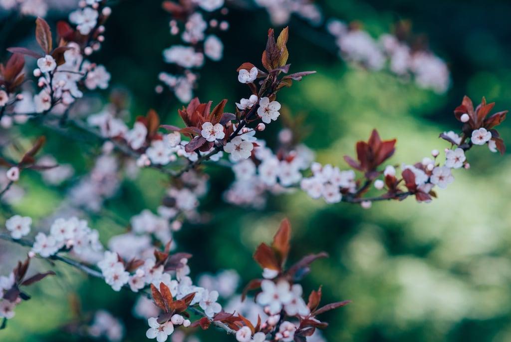 Flores de Cerejeira, minhas favoritas. Conheça meu blog e veja mais fotos.