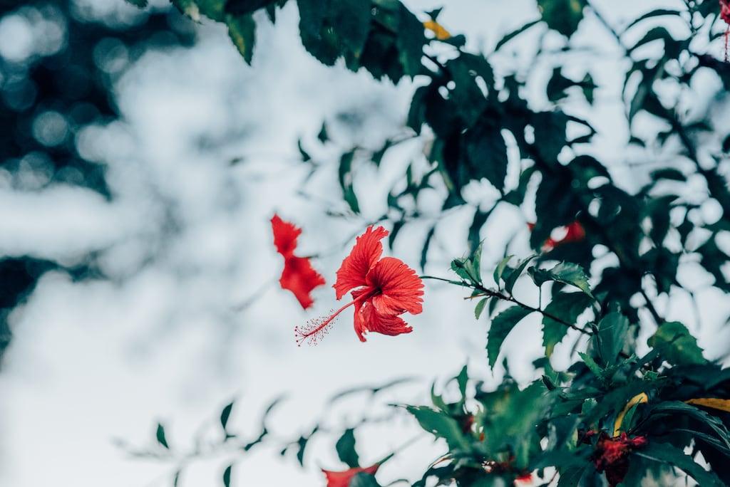 Flores vermelhas encontradas no parque em Londrina. Venha conhecer esse belo ponto turístico da cidade!