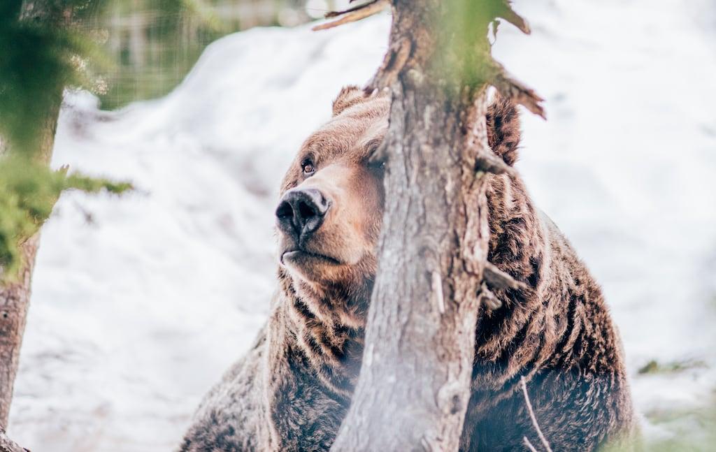 Urso morador da Grouse Montain. Para ter a oportunidade de observar esses animais foi preciso muita força de vontade e perseverança ao percorrer a trilha que leva até o topo! Veja mais fotos no blog.