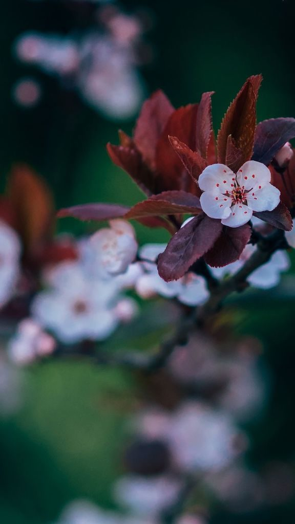 Pequena sakura isolada. Veja mais imagens de natureza no link!