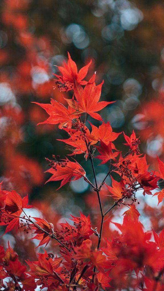 Folhas de maple avermelhadas. Essa te lembra qual país? Que tal aprender a fotografar a vegetação? Veja como no link!