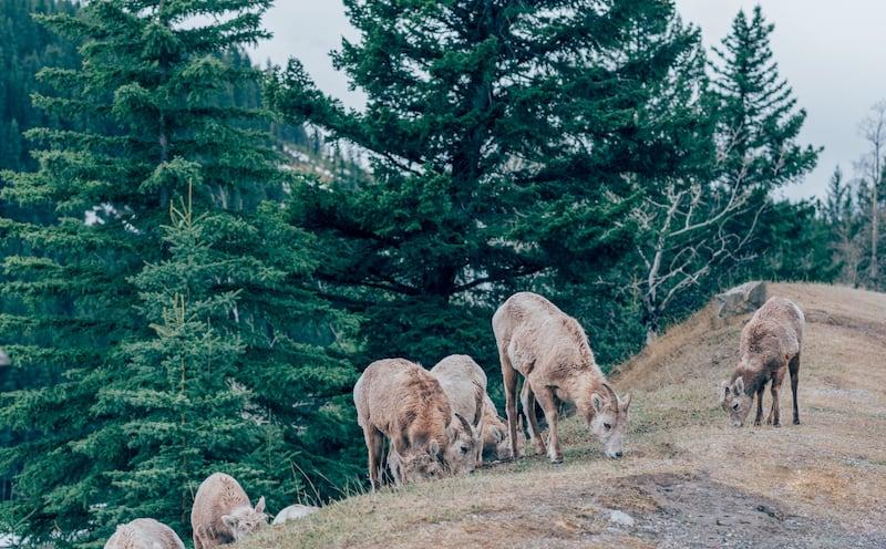 Carneiros selvagens, um encontro durante nosso passeio pelas montanhas rochosas canadenses. Veja o roteiro completo no blog.