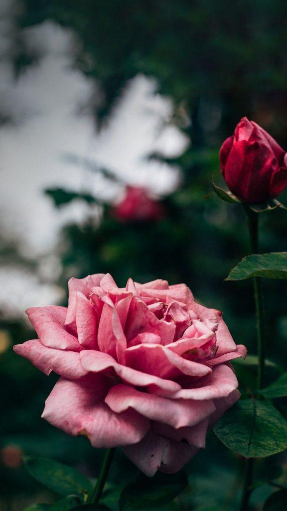 Macro de uma rosa com suas pétalas delicadas. Outras imagens disponíveis para fundo de tela no post!