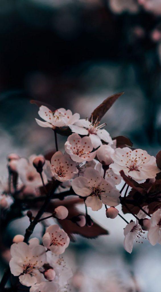 Sakuras delicadas. Quer saber como capturar imagens de natureza? Veja nesse posts algumas dicas!