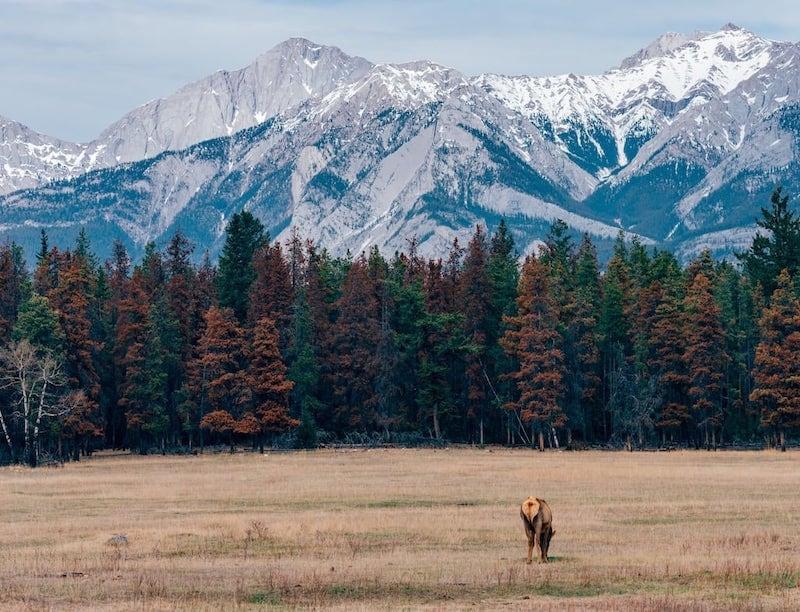 Cervídeos pastando calmamente nas paisagens das belas montanhas rochosas no Canadá. Veja mais fotos no link!