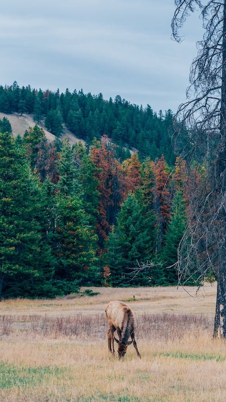 Animais pastando calmamente. Veja mais fotos das Rocky Mountains no Canadá clicando no link.