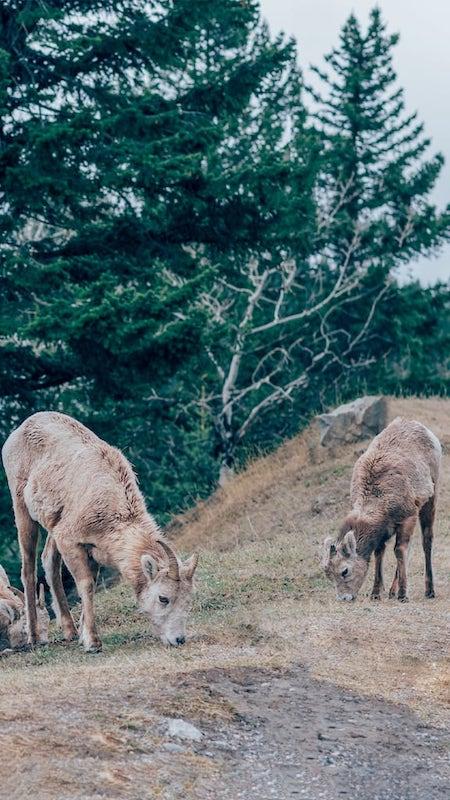 Carneiros selvagens próximos a uma estrada. Veja mais fotos dos parques nacionais canadenses no link!