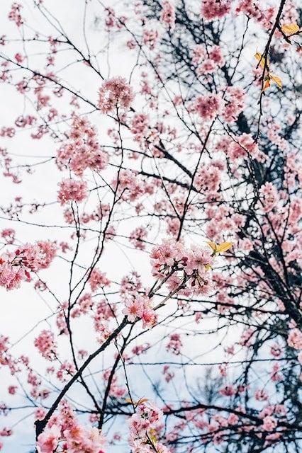 Ramos da árvore de cerejeira