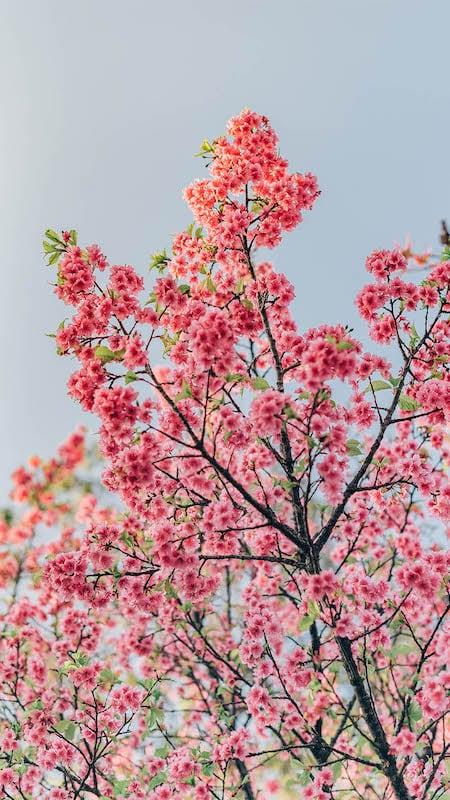 As cerejeiras do Parque Ibirapuera em São Paulo. Veja mais fotos no link!