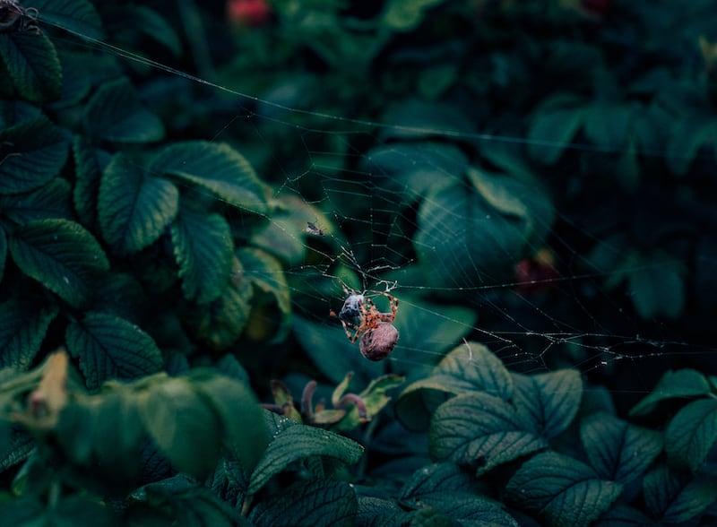 Uma aranha se alimenta enquanto há uma mosca presa em sua teia.