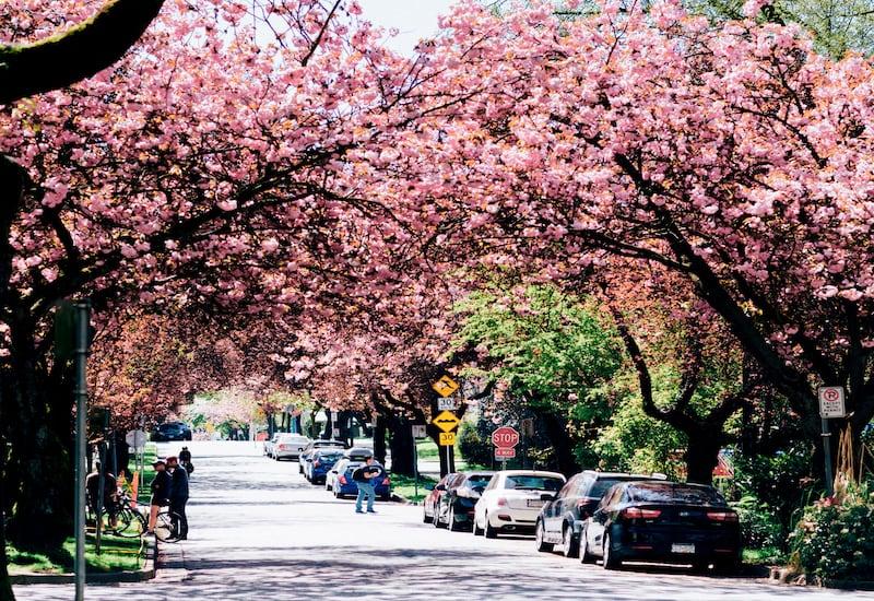 Uma rua florida no centro de Vancouver. Veja meu top  5 lugares para fotografar na cidade durante a primavera!