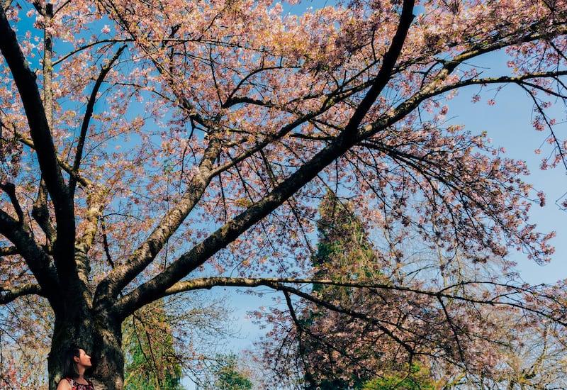 O Queen Elizabeth Park se destaca pela presença das cerejeiras na primavera. Veja o top 5 lugares para fotografar em Vancouver nessa estação maravilhosa!